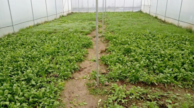 В Агсуинском опытно опорном пункте Института Зоологии НАНА выращиваются овощные культуры